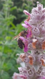 BEE ON LAMBS' EARS (Stachys lanata)