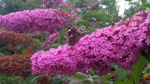 BUDDLEIA WITH RED ADMIRAL